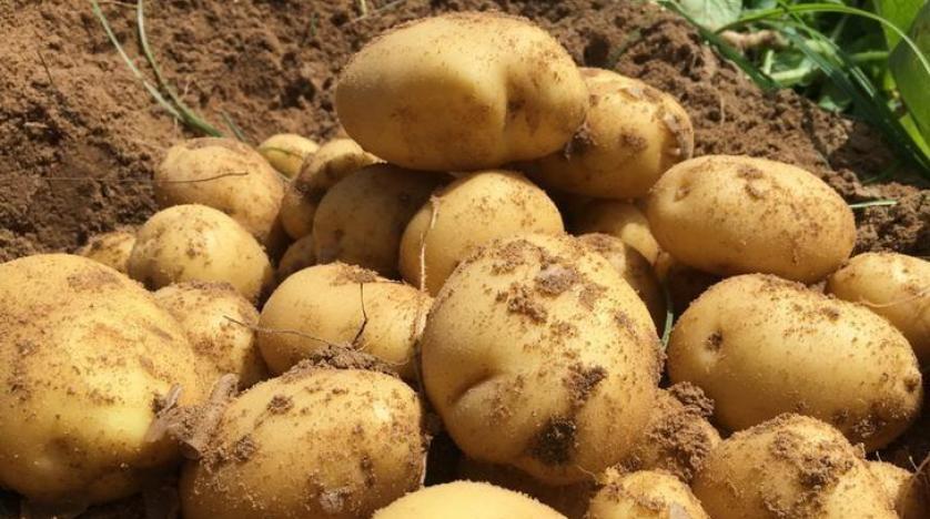 العراق يمنع استيراد البطاطا ليرتفع عديد الوفرة المحلية لـ23 محصولا ومنتجا